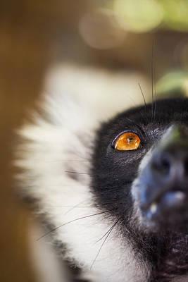Ruffed Lemur Poster