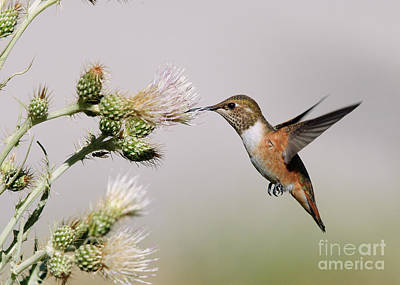 Poster featuring the photograph Rufous Hummingbird by Doug Herr