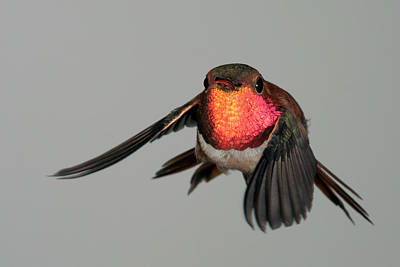 Poster featuring the photograph Rufous Hummingbird Downstroke by Gregory Scott