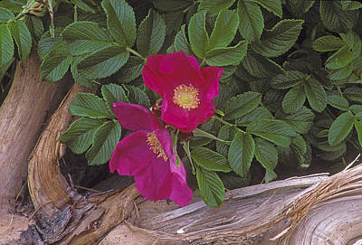 Rugosa Rose And Driftwood Poster
