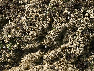 Sabellaria Reefs (fan Worms) Poster