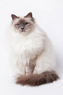 Sacred Birman Cat With Blue Eyes Poster
