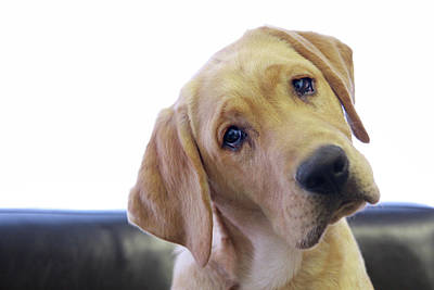 Sad Looking Yellow Lab With Head Tilted On Chair Poster