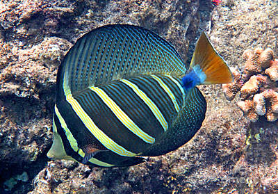 Sailfin Tang Expanded Poster by Bette Phelan