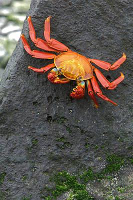 Sally Lightfoot Crab, Grapsus Grapsus Poster by Tim Laman