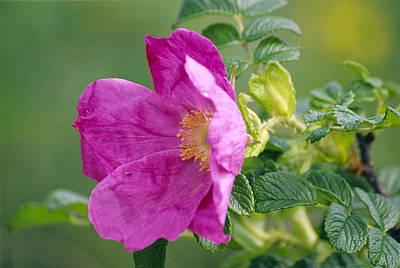 Salt Spray Rose Flower (rosa Rugosa) Poster