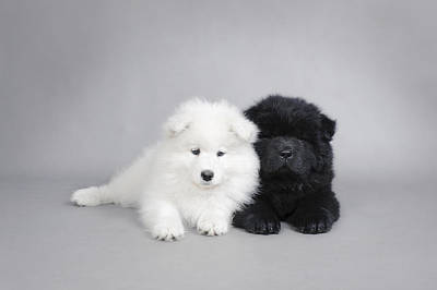 Samoyed And Chow Chow Puppies Poster