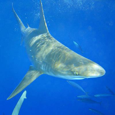 Sandbar Shark Poster