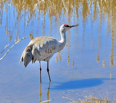 Poster featuring the photograph Sandhill Crane by Kathy King