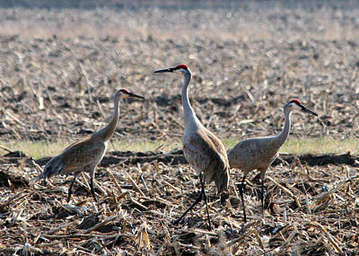 Poster featuring the photograph Sandhill Crane Trio by Mark J Seefeldt