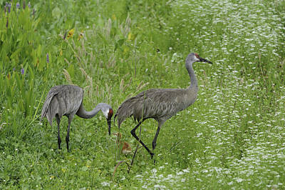 Poster featuring the photograph Sandhill Cranes And Chick by Bradford Martin