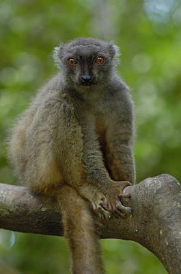 Sanfords Brown Lemur Eulemur Fulvus Poster by Pete Oxford