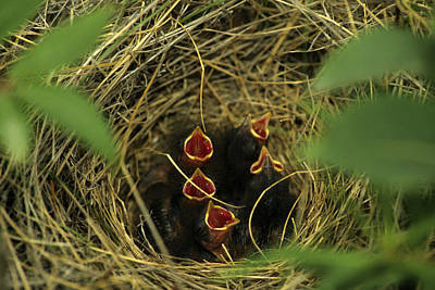 Savannah Sparrow Nest On Ground Poster by Michael S. Quinton