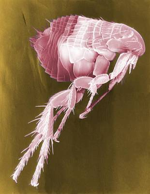 Scanning Electron Micrograph Of A Flea Poster by Everett