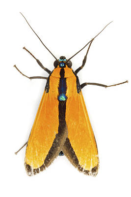 Scape Moth Tapanti Np Costa Rica Poster