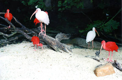 Poster featuring the photograph Scarlet Ibis And Spoonbills by Maureen E Ritter