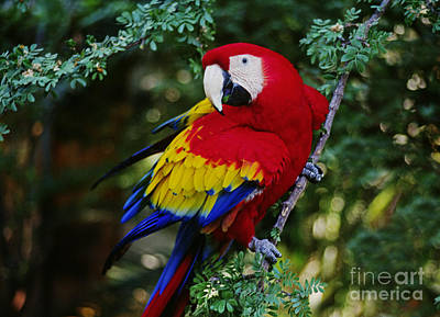 Poster featuring the photograph Scarlet Macaw - Guatemalan Rainforest by Craig Lovell
