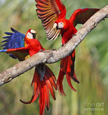 Scarlet Macaws Poster