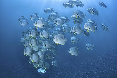 Schooling Longfin Spadefish Or Batfish Poster by Jones/Shimlock-Secret Sea Visions