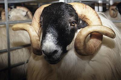 Scottish Blackface Ram Poster by David Aubrey