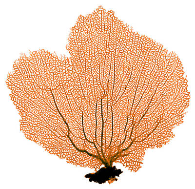 Sea Fan, X-ray Poster by D. Roberts