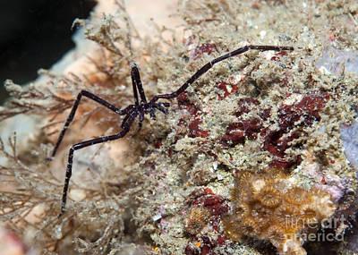 Sea Spider In Atlantic Ocean Poster