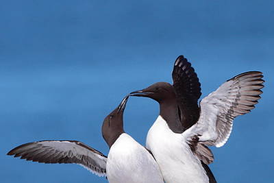 Seabird Love Poster by Bruce J Robinson