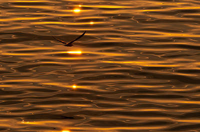 Seagull At Sunset Poster by Micael  Carlsson