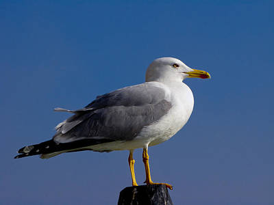 Poster featuring the photograph Seagull by David Gleeson