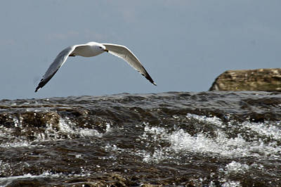 Poster featuring the photograph Seagull Overt The Rapids by Darleen Stry