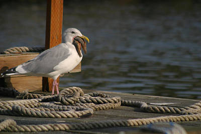 Poster featuring the photograph Seagull Swallows Starfish by Kym Backland
