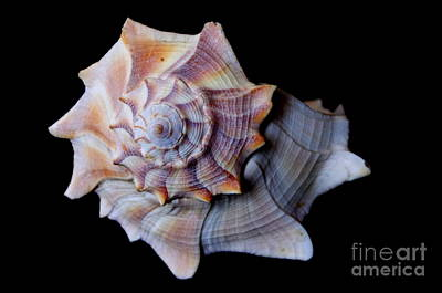 Poster featuring the photograph Seashell 5 by Deniece Platt