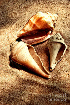 Seashells Poster by HD Connelly