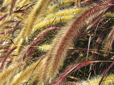 Poster featuring the digital art Setaria Italica Red Jewel - Red Bristle Grass by Anne Mott
