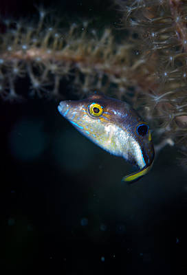 Sharp Nosed Puffer Poster