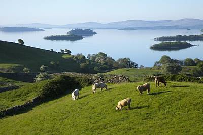 Sheep Grazing By Lough Corrib Cong Poster by Peter Zoeller