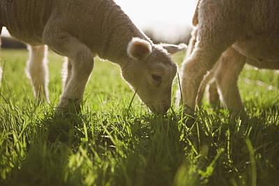 Sheep Grazing In Grass Poster by Jupiterimages