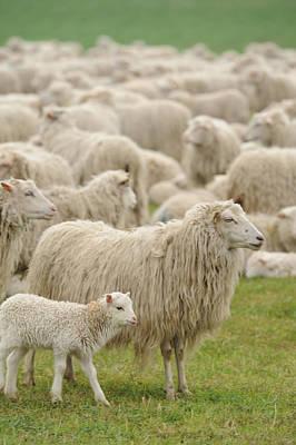 Sheep Grazing In Grassy Field Poster