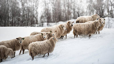Sheep Herd Waking On Snow Field Poster by Coolbiere Photograph
