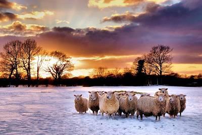 Sheepish Poster by Jeremy Sage