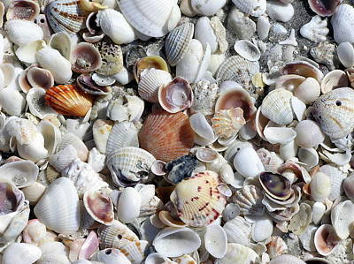 Shells On The Beach Poster