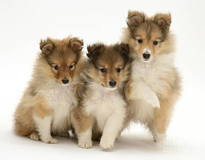 Sheltie Pups Poster by Jane Burton