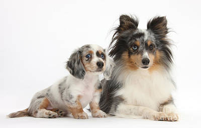 Shetland Sheepdog And Dachshund Puppy Poster by Mark Taylor