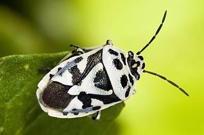Shield Bug Poster