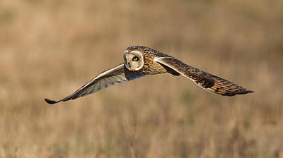 Short Eared Owl Hunting Poster