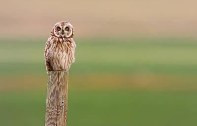 Short-eared Owl, Saskatchewan Poster