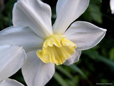 Shy Daffodil Poster