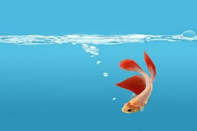 Siamese Fighting Fish Betta Splendens Poster