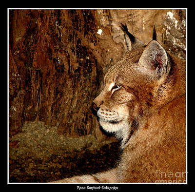 Siberian Lynx Poster by Rose Santuci-Sofranko
