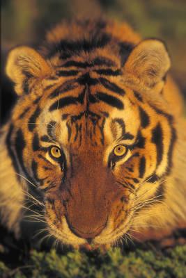 Siberian Tiger. Captive. Kalispell Poster by Thomas Kitchin & Victoria Hurst